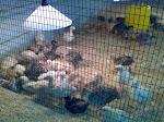 Anak Ayam Piru & Kacukan