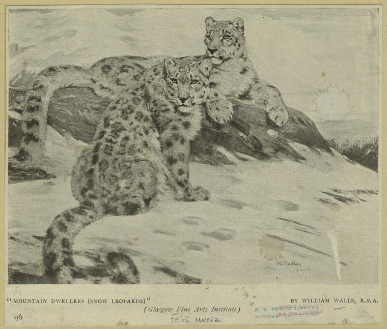 [snow+leopards]