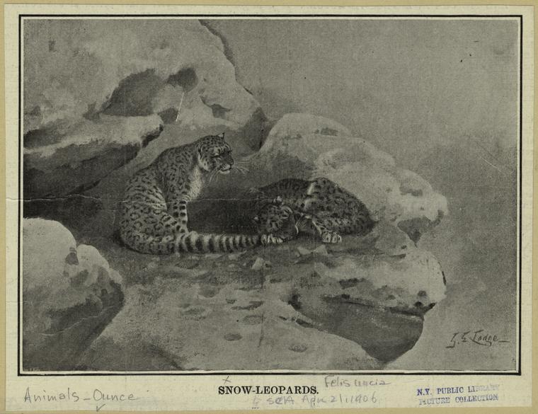 [snowleopard2]