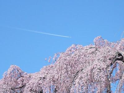 滝桜11:04