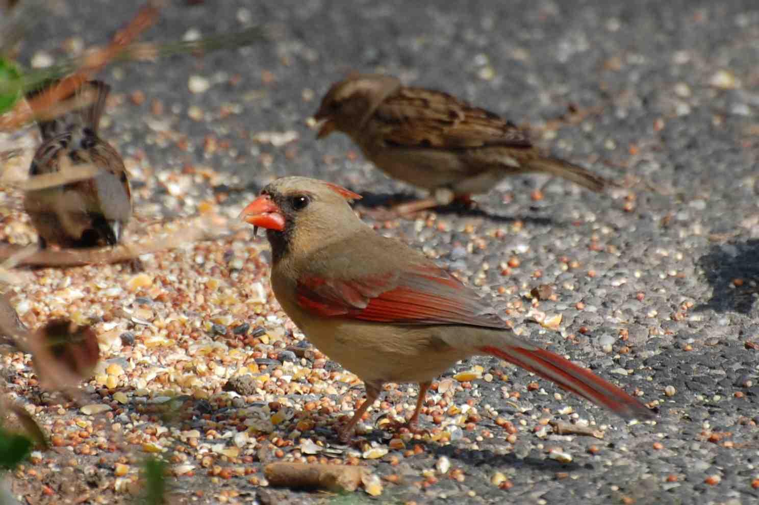 urban wildlife guide new bird