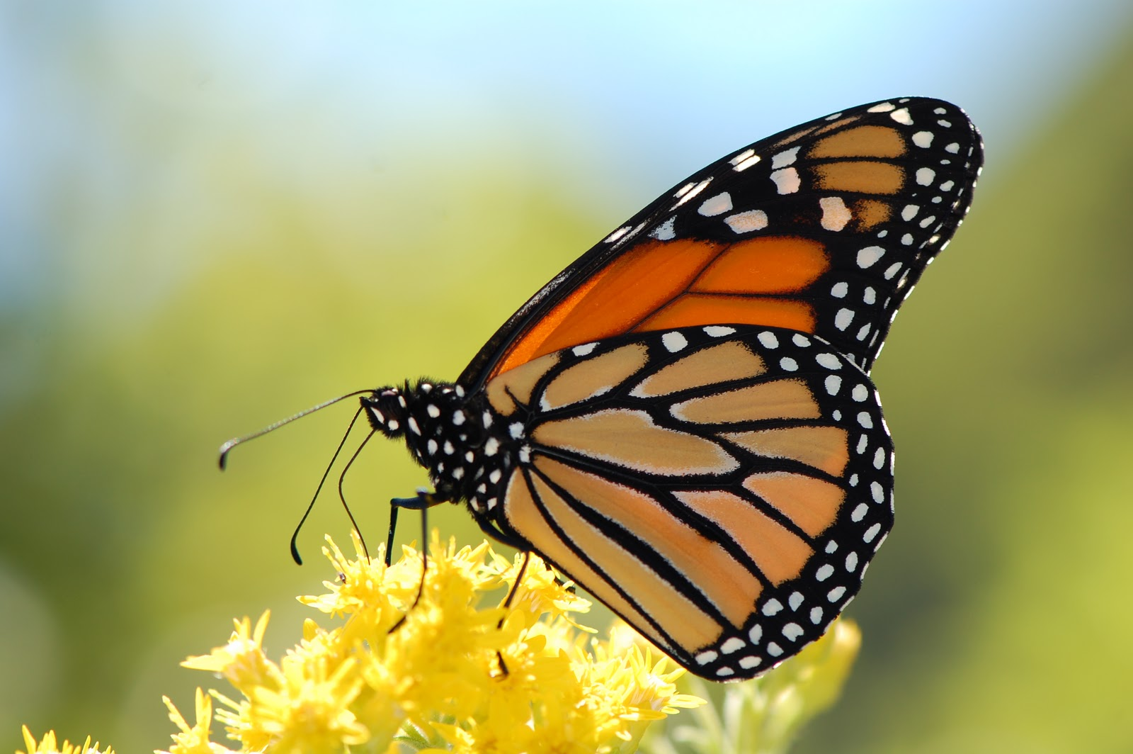 Monarch Butterfly Legs