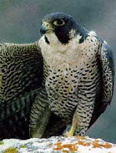 Сапсана также называют утиным соколом или соколом голюбятникам.