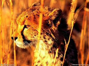 Cheetah | nature desktop wallpapers Images Photos