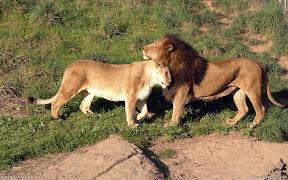 Lions | nature desktop wallpapers Images Photos