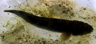 Catfish Siargao Island Philippines