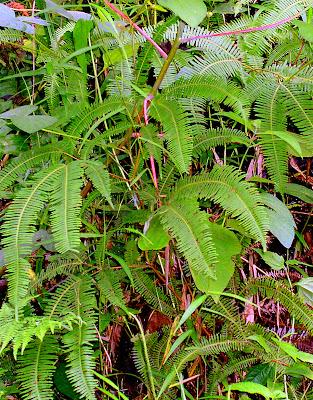 Agsam fern Mindanao Philippines