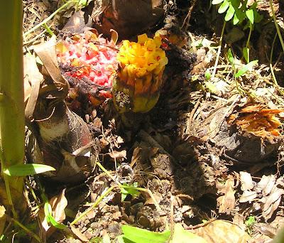 'Yellow panoon Etlingeria Siargao Island Philippines