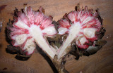 Etlingera fruit body split from Siargao Island, NE Mindanao, Philippines, home of Cloud 9 surfing spot