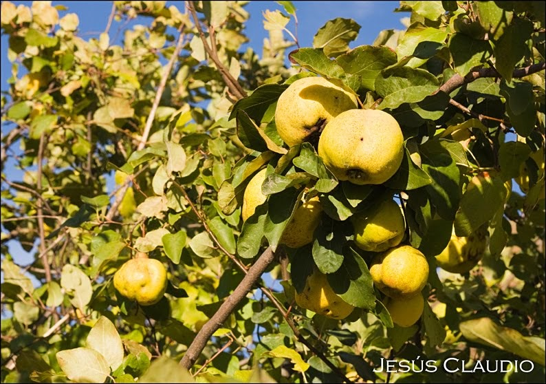 El blog de jesus claudio membrillo cydonia oblonga - Membrillo arbol ...