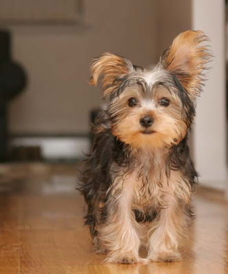 Basic Haircuts for Yorkie Terrier Dogs  Cuteness
