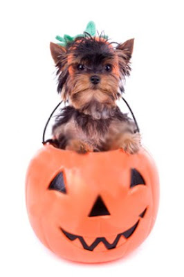 Is your YORKIE dressing up for Halloween?!