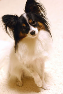 Pictures of Papillon Dog