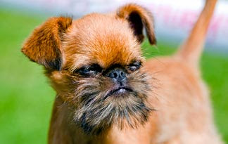 Wallpaper of Brussels Griffon