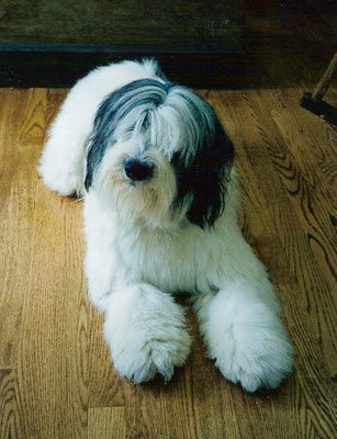 Pictures of Polish Lowland Sheepdog