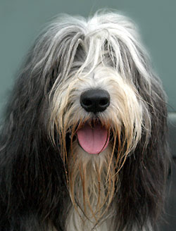 Bearded Collie Medium Breeds