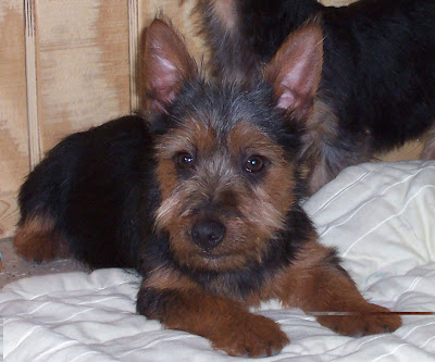 Pictures of Australian Terrier Puppies