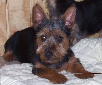 Pictures of Australian Terrier Puppies