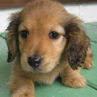 Funny Dachshund Puppies Gallery