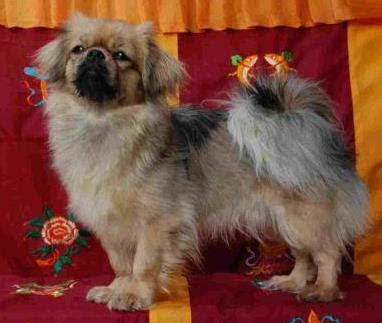 Tibetan Spaniel Wallpapers