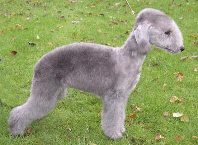 Bedlington Terrier Breeders Dog
