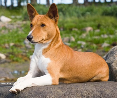 Basenji Wallpapers