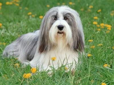 Bearded Collie Dog Posters