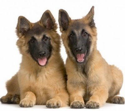 Funny German Shepherd Dog Photo