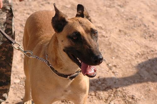 Belgian Malinois Police Dog Breeds