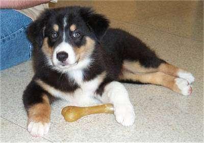 Australian Shepherd Puppies | Top Dog Directory