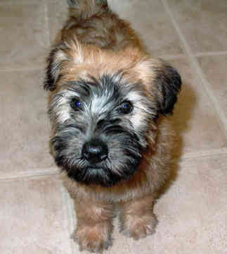 Wheaten Terrier Puppies on Soft Coated Wheaten Terrier Puppies