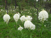 beargrass along mountainsides~Seeley Swan 2009