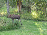 Resident moose and calf