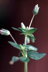Stellaria closeup
