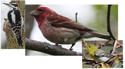 I am the biggest finch in the WORLD