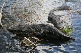 Swamp People, Swamp, Alligators,Alligator Hunting, Louisiana