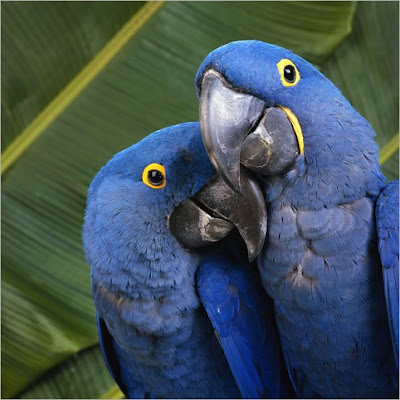 pin blue macaw bird - photo #14