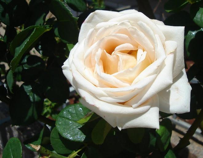 cultivo rosas jardim:Flores de Paola Rhoden: Cultivo das flores