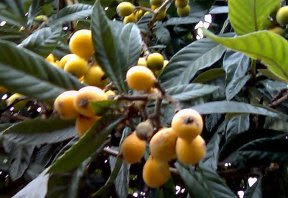 Loquat fruit on tree
