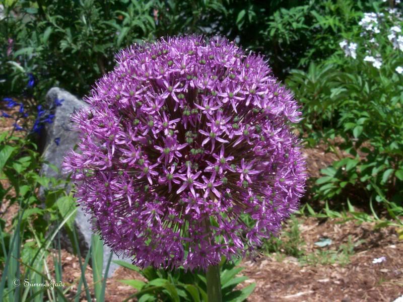 Italian Hardneck Garlic