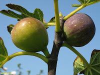 figuier-Ficus carica L.