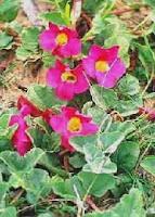 griffe du diable-Harpagophytum procumbens