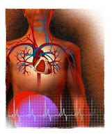 coeur systeme cardio vasculaire