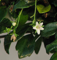 arbre à thé, tea tree, melaleuca, mélaleuque, Melaleuca alternifolia