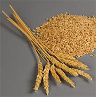 germe de blé Triticum sativum