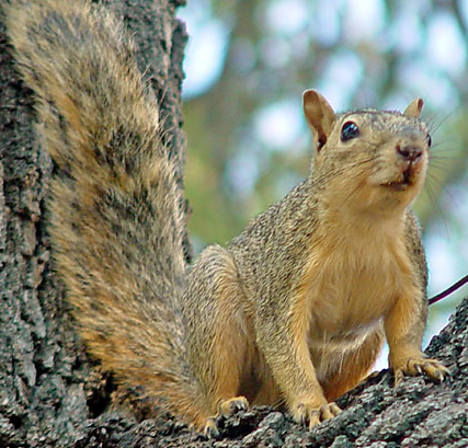 Species Blog: Various Ecosystems-Fox Squirrel