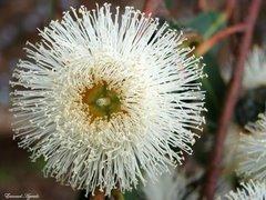 Uma flor (de eucalipto) prá você...