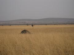 Ostrich in Serengeti