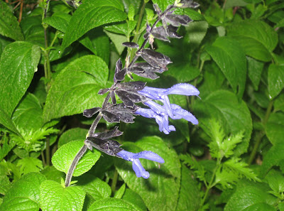 Annieianaustin, Black and Blue salvia