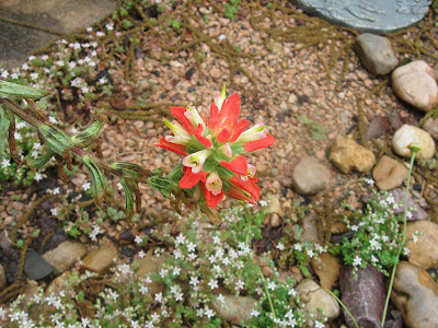 Annieinaustin, Texas Paintbrush